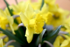 soft daffodils