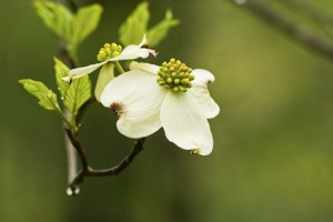 Single Dogwood Flower against a green background.