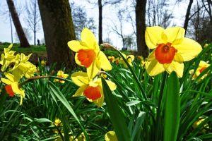 Daffodils Lake Arrowhead Flowers