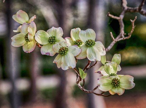 Dogwoods Lake Arrowhead Flowers