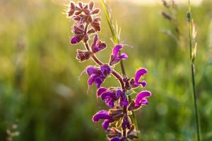 Lake Arrowhead Flowers Salvia