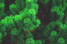 Lake Arrowhead Pine Health